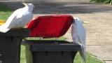 사회적 학습으로 쓰레기통 덮개 무력화한 똑똑한 큰유황앵무