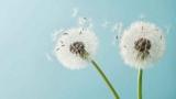 [퀴즈] 꽃가루 알레르기를 일으키는 식물은?