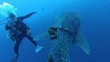 [팔라우에서 온 힐링레터] 밧줄에 묶인 고래상어를 구했다!