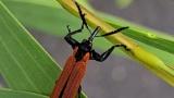 [이강운의 곤충記] 아름다운 색과 뚜렷한 개성을 지닌 호주의 딱정벌레들