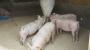 변화무쌍 아프리카돼지열병 바이러스 백신 개발은 '걸음마'