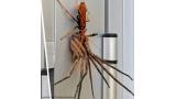 무시무시한 말벌, 거미를 사냥하다