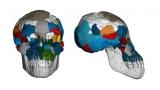 약 300만년 전 인류의 조상 '루시' 두뇌 유인원에 더 가까워