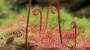 뿌리 유전자, 식충식물에선 잎에서 발현돼