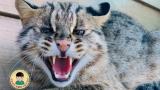 [슬기로운 동물원생활] 국내 처음으로 시도된 삵의 인공수정