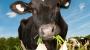 해조류 먹은 소는 메탄 방귀 덜 뀐다