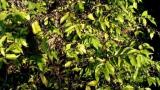 기후변화로 사라지는 아라비카 커피, '스테노필라'가 대체하나