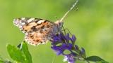 사하라사막 건너는 '작은멋쟁이' 나비 최장거리 이동 곤충 등극